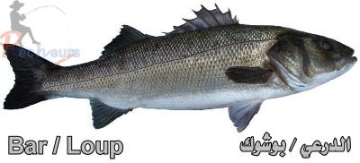 سمك الدرعي أو القاروص